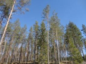 Nes skogen